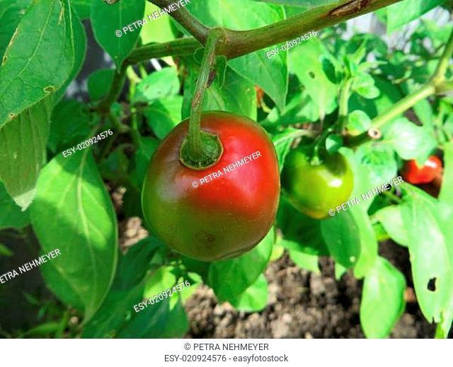 Baumchili - Capsicum pubescens - Red manzano -