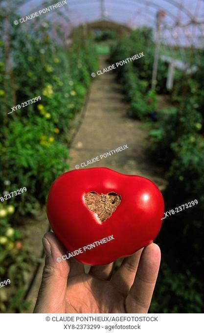 Hand holding a tomato inside a greenhouse, Saint-Pascal of Kamouraska, Quebec, Canada