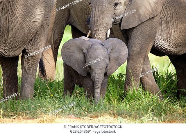 African elephants with calf