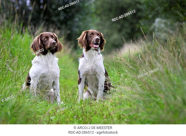 Drentsche Patrijshond / Dutch Partridge Dog