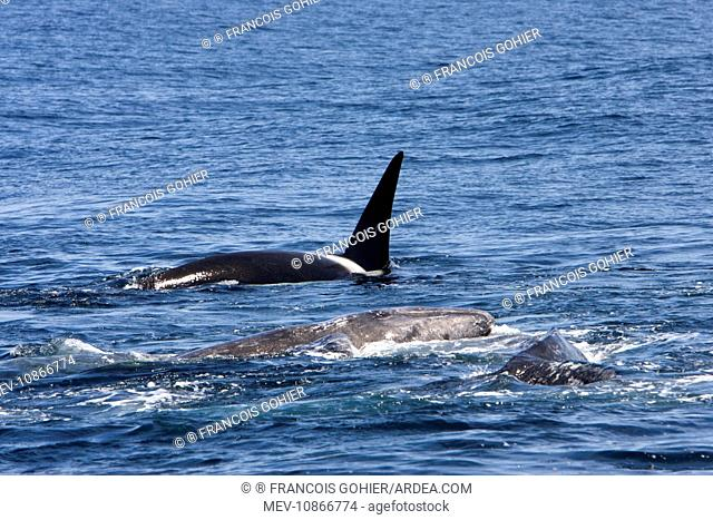 Killer whale / Orca - A pod of Transient type killer whales attacking a Grey whale mother and calf. The calf's head is resting onto its mother's back (Orcinus...