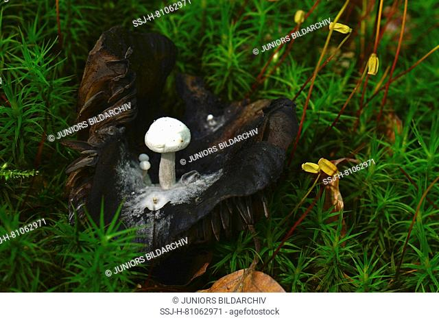 Collybia species growing on the decomposing remains of other mushrooms, here Russula spec