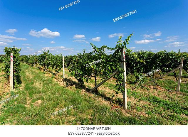 Vineyards under Palava. Czech Republic