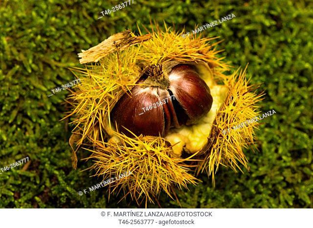 Chestnut in the Castañar del Tiemblo, Avila province, Spain