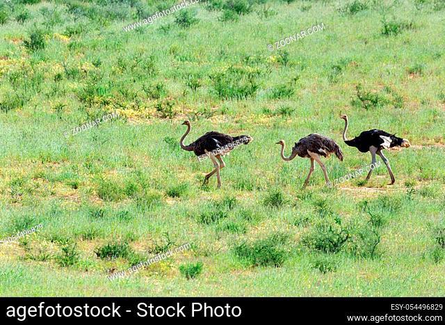 Ostrich, Struthio camelus in green Kalahari, desert after rain season. Kalahari Transfrontier Park, South Africa wildlife safari