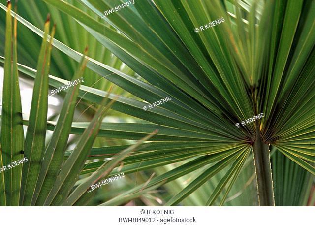 Guadalupe Palm, Palma de Guadalupe Erythea edulis, Brahea edulis, leaf