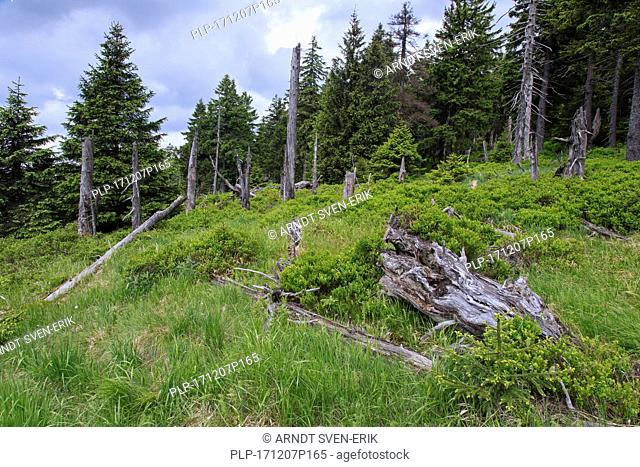 Spruce trees in ancient coniferous forest in the Harz National Park, Saxony-Anhalt, Germany