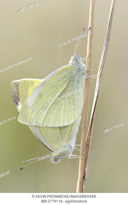 Small White or Cabbage White butterflies (Pieris rapae), mating, Thuringia, Germany