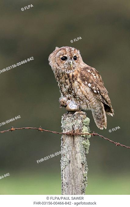 Tawny Owl (Strix aluco) adult, with Wood Mouse (Apodemus sylvaticus) prey in talons, perched on fencepost, September (captive)