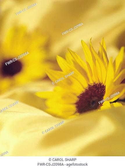 Sunflower, Helianthus, Side view of two flowerheads sunk into matching yellow fabric