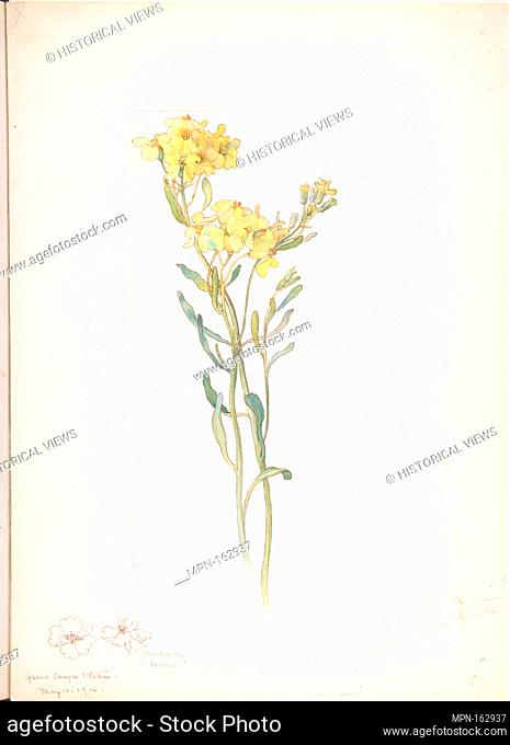 American Wildflower with Yellow Blossoms. Artist: Margaret Neilson Armstrong (American, New York 1867-1944 New York); Date: May 11