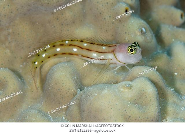 Three-lined Blenny (Ecsenius trilineatus) at Muara Channel dive site off Sermata Islands near Alor in eastern Indonesia