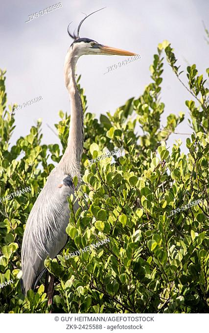 Great Blue Heron, Everglades NP, Florida, USA