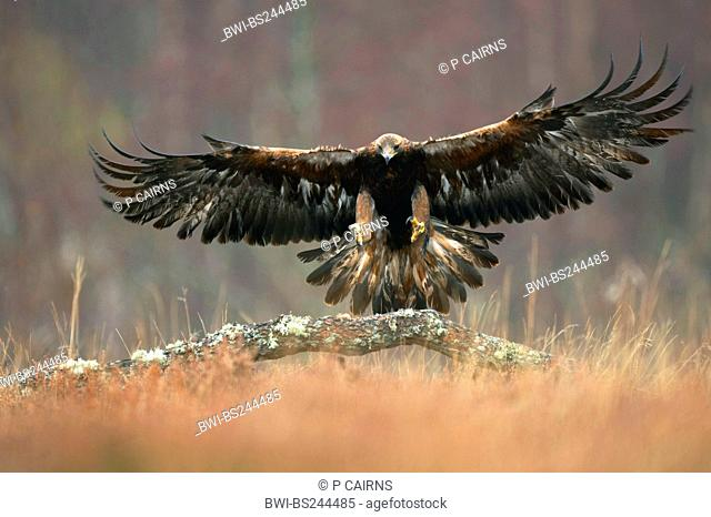 golden eagle Aquila chrysaetos, landing in woodland clearing, United Kingdom, Cairngorms National Park