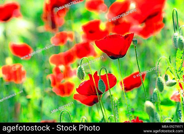 Red poppy meadow, Greece