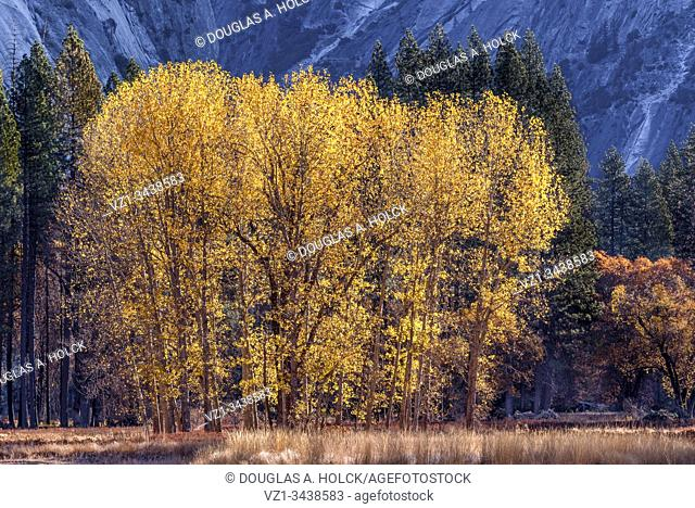 Yosemite Valley Cottonwoods in Fall