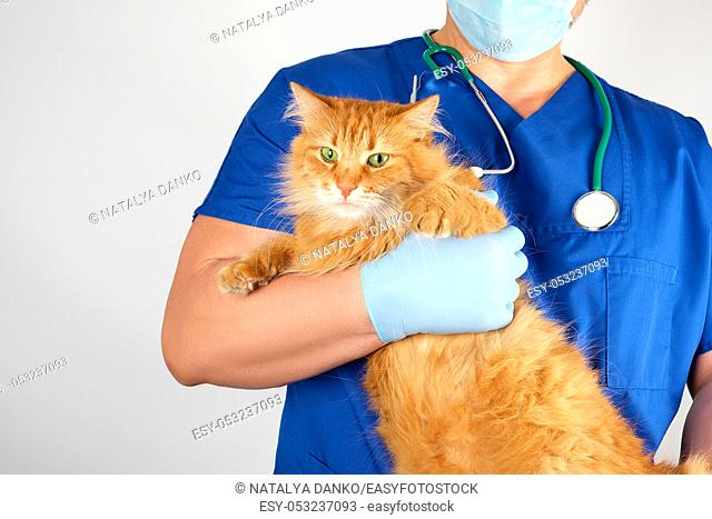 vet in a blue uniform holds an adult fluffy red cat with a scared muzzle, white background, pet treatment concept
