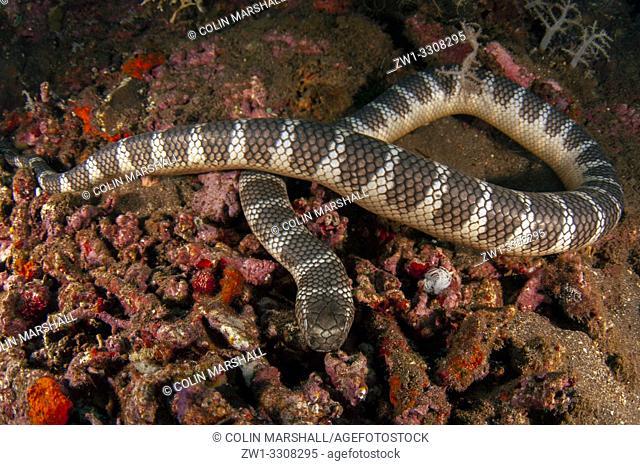 Chinese Sea Snake (Laticauda semifasciata), Tanjung Kelapa dive site, Manuk Island, Banda Sea, Indonesia