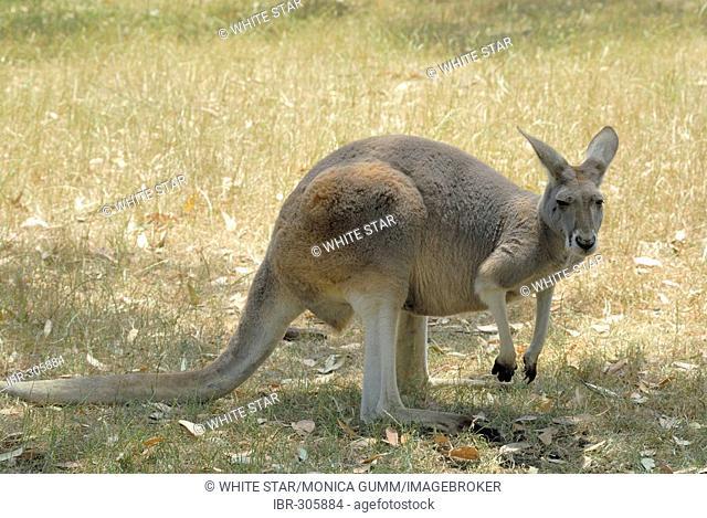 Kangaroo in the Cleland Wildlife Park, Adelaide Hills, South Australia, Australia