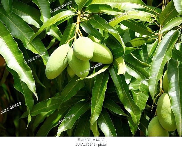 Close-up of mango tree
