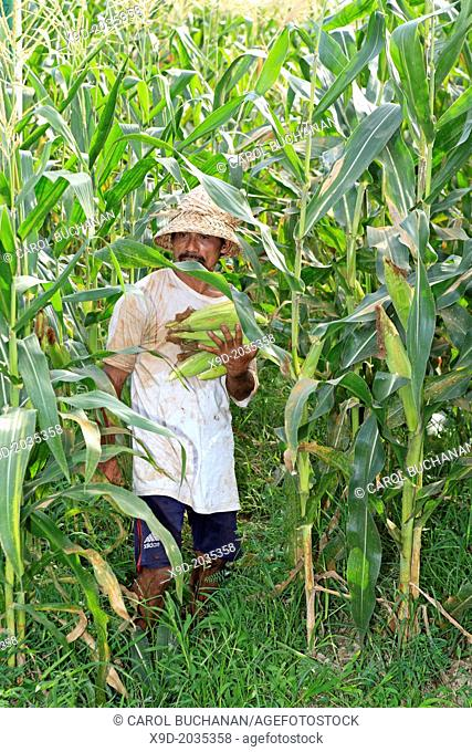 A Balinese farmer holding ripe ears of sweet corn during the harvest. Ubud Bali, Indonesia