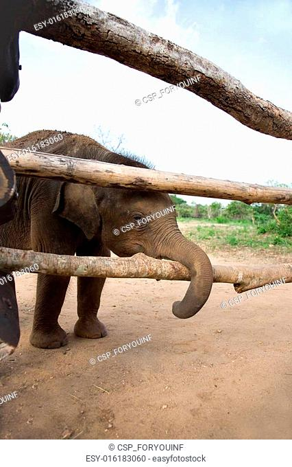 Baby Elephant stands near wood fence