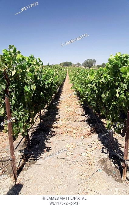 Grape vines climb the rolling hils of a Paso Robles vineyard