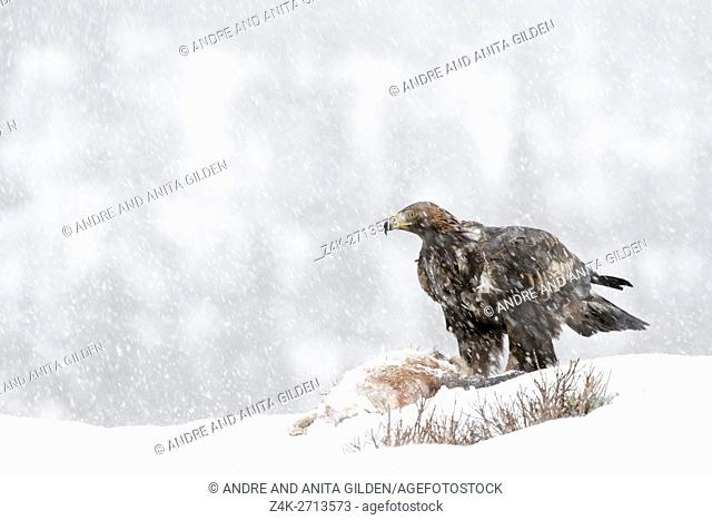Golden Eagle (Aquila chrysaetos) adult during blizzard, feeding, scavenging at carcass in snow, Lauvsness, Flatanger, Norway