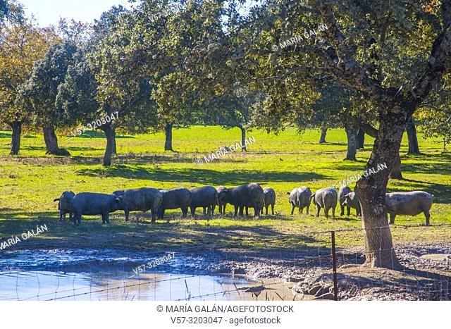 Iberian pigs in a meadow. Pedroches Valley, Cordoba province, Andalucia, Spain