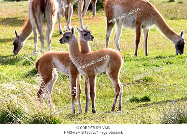 Chile, Patagonia, Magellan Region, Torres del Paine National Park, Guanaco (Lama guanicoe), baby