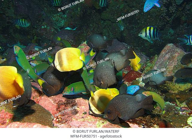Wrasses and Butterflyfishes feed Eggs of other Fishes, Thalassoma lunare, Chaetodon kleinii, Alor, Lesser Sunda Islands, Indo-Pacific, Indonesia