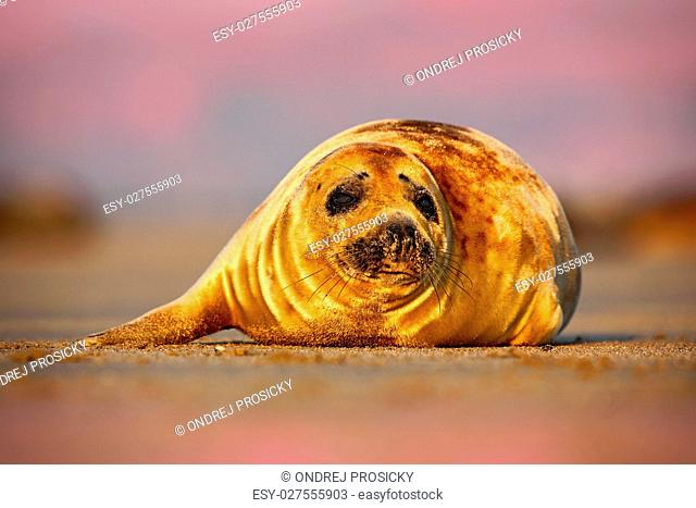 Grey Seal, Halichoerus grypus, detail portrait on the sand bech