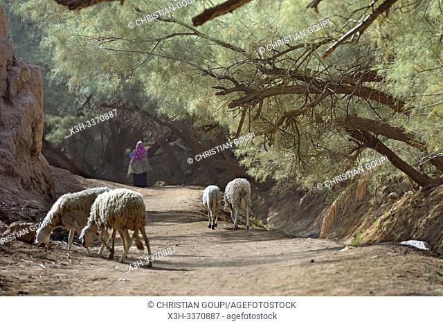 shepherdess under a wood of tamarix aphylla wood at the edge of the palm grove of Zagora, Draa River valley, Province of Zagora, Region Draa-Tafilalet, Morocco