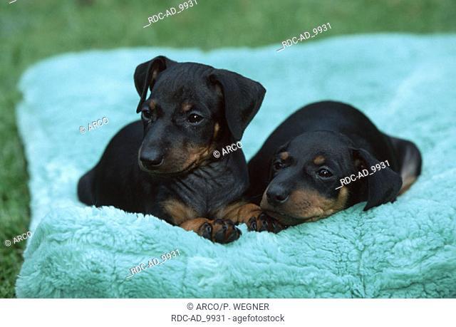 Manchester Terrier puppies 6 weeks