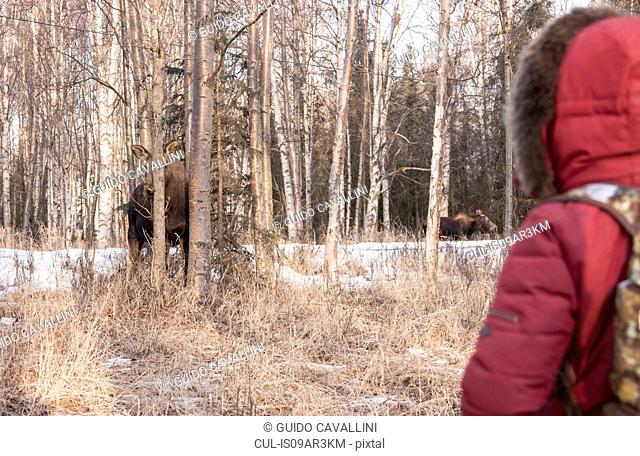 Person watching moose in forest, Fairbanks, Alaska