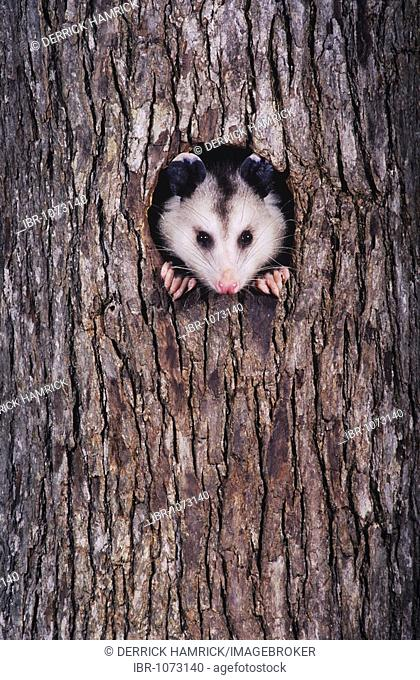 Virginia Opossum (Didelphis virginiana), adult at night looking out of tree cavity, Raleigh, Wake County, North Carolina, USA