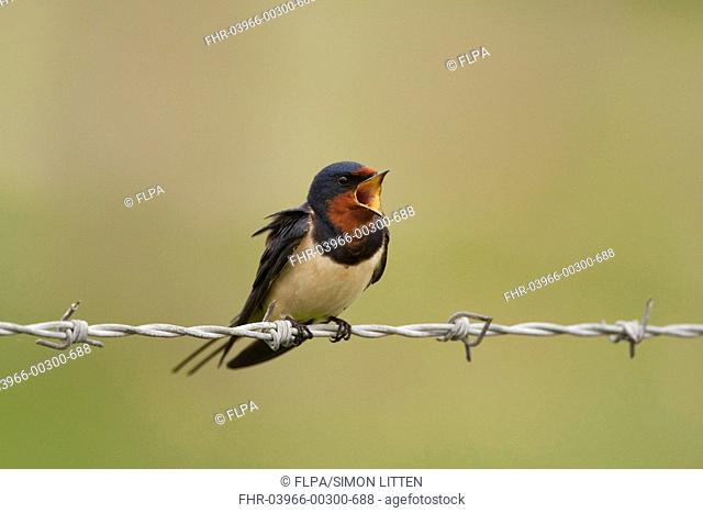 Barn Swallow Hirundo rustica adult, calling, perched on barbed wire, Norfolk, England