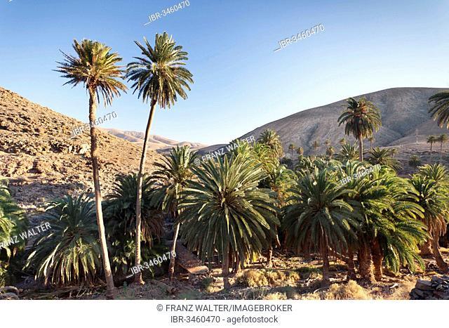 Palms trees, landscape of Barranco de la Madre de Agua, near Ajuy, Fuerteventura, Canary Islands, Spain