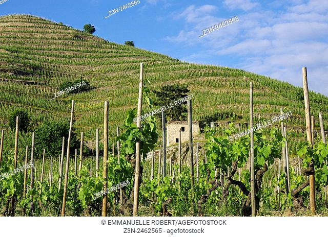 Vineyard, French wine, wine industry Tain l'hermitage, Drome, Rhone ALpes, Rhone Valley, France, Europe