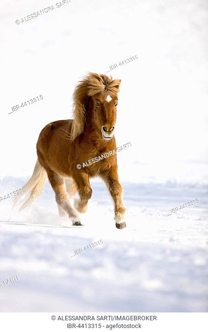 Icelandic horse galloping in snow, winter, Austria
