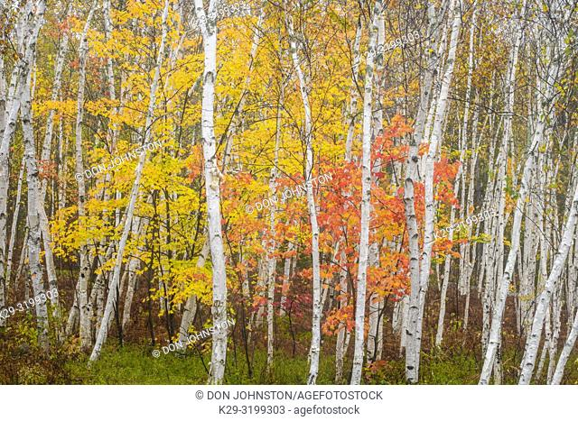 Autumn maple foliage and birch tree trunks, Greater Sudbury, Ontario, Canada