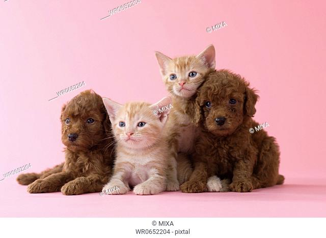 Two American Shorthair Kittens and Two Toy Poodle Puppies