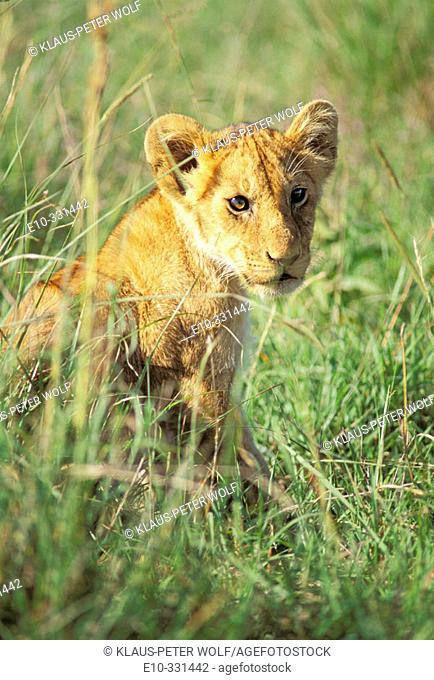 Young lion (Panthera leo) in tall grass. Masai Mara. Kenya