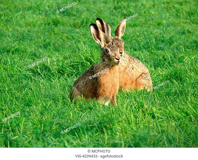 Europaeischer Hase, Europaeischer Feldhase (Lepus europaeus), zwei Tiere sitzen in einer Wiese frischen gruenen Grases European hare (Lepus europaeus)