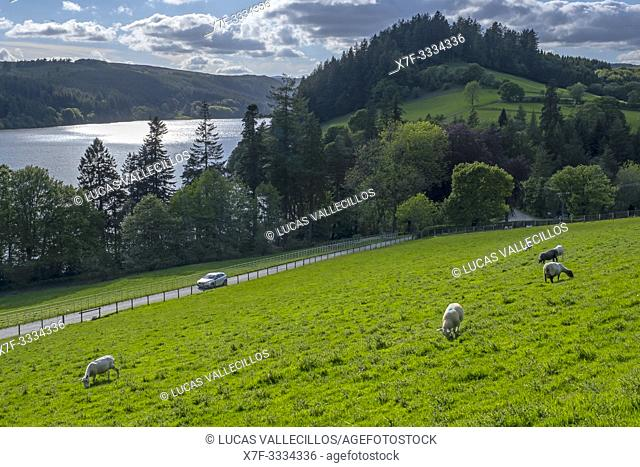 Sheeps grazing and The Lake Vyrnwy, in the middle of the Berwyn mountain range, Powys, Wales
