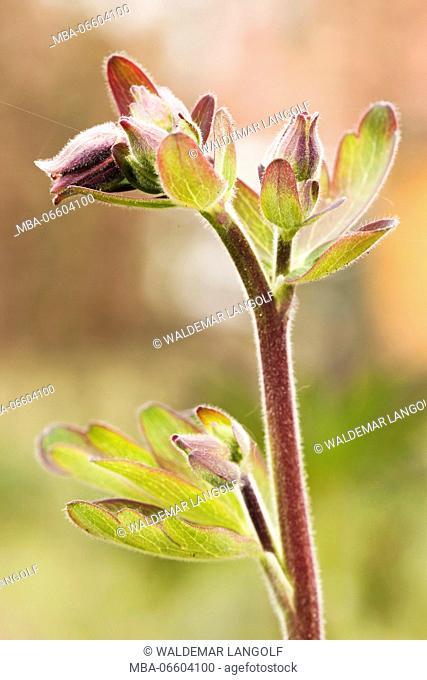Aquilegia Vulgaris hybrid 'Black of Barlow' in the bud, spring