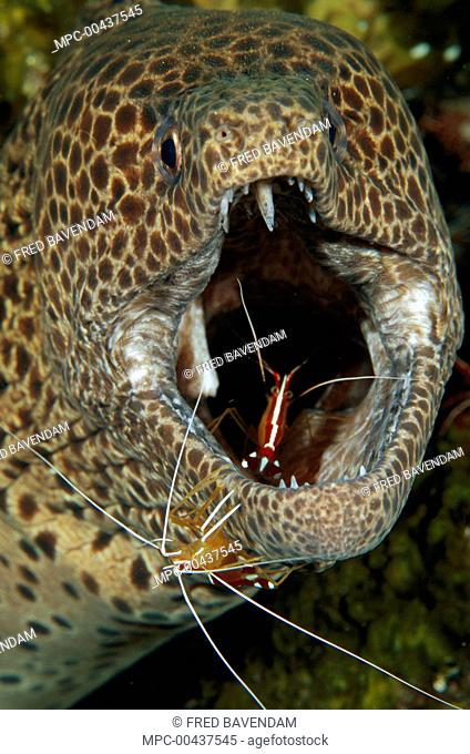Spotted Moray (Gymnothorax isingteena) being cleaned by Scarlet Cleaner Shrimp (Lysmata amboinensis), Bali, Indonesia