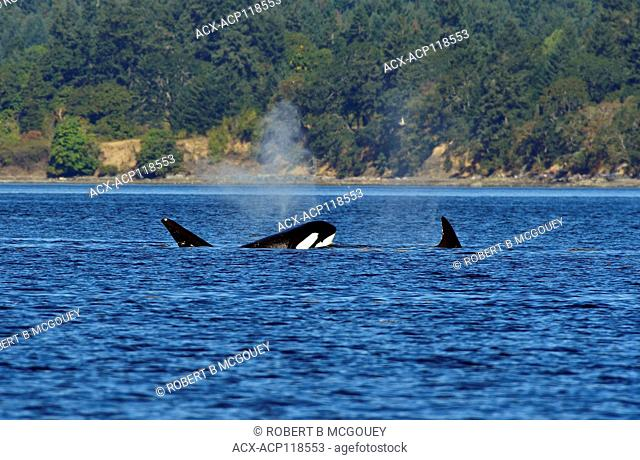 A pod of orcas (Orcinus orca) swimming in the coastal water near Vancouver Island B.C