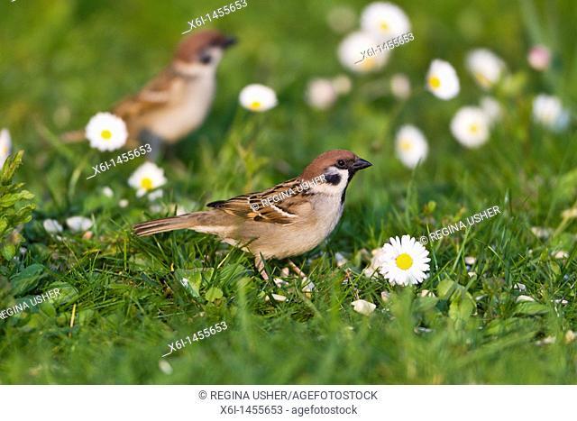 Tree Sparrow Passer montanus, feeding on garden lawn, Lower Saxony, Germany