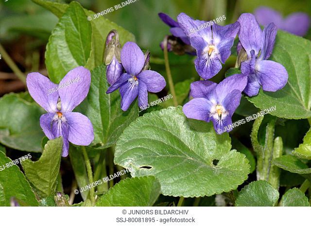 DEU, 2003: Sweet Violet (Viola odorata), flowering plant